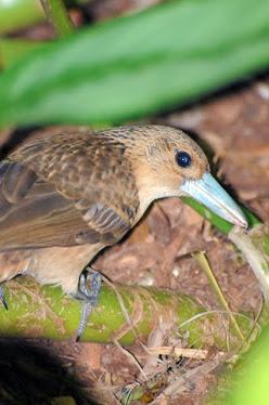Black Butcherbird, rufenscens race