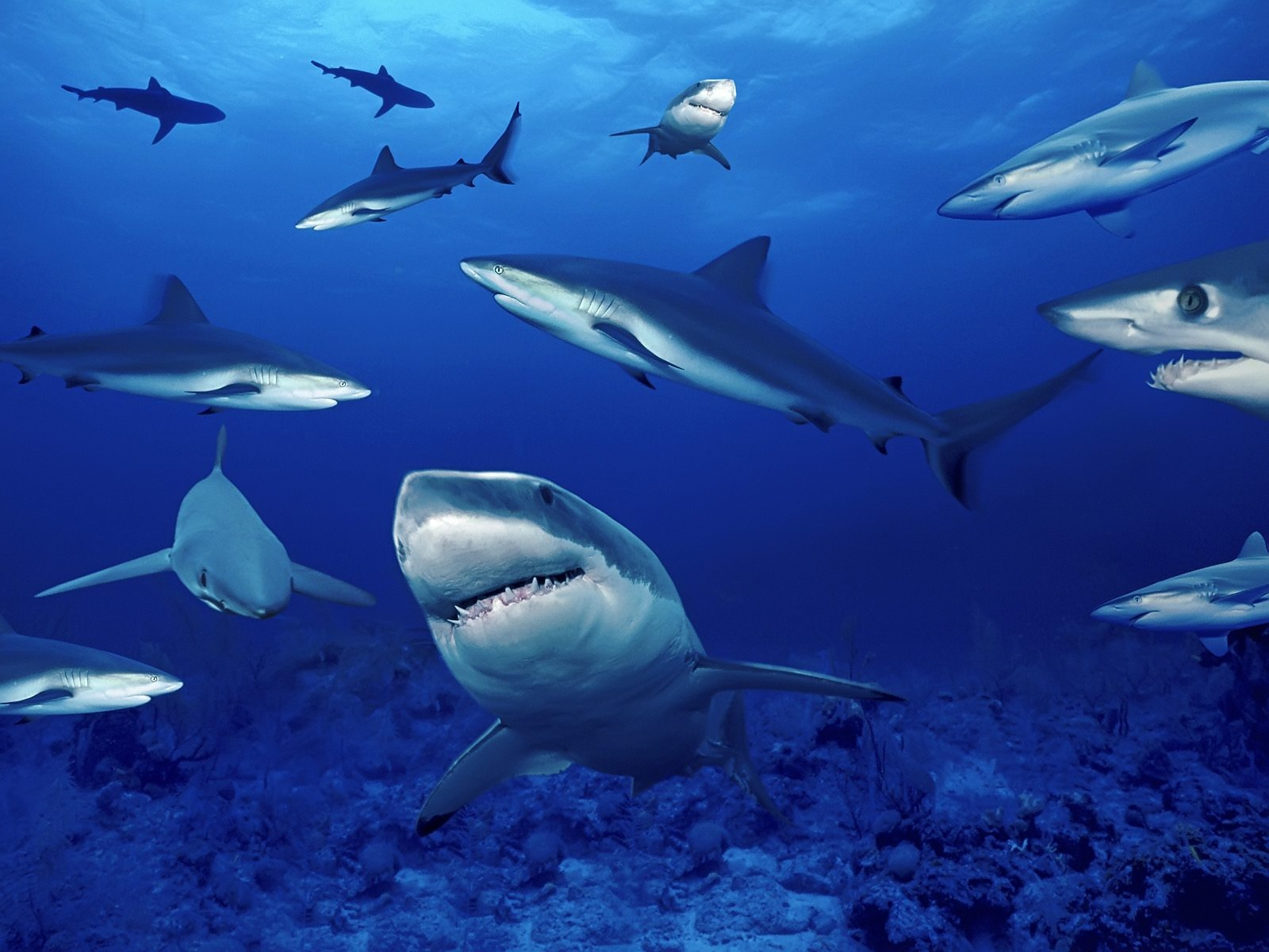 Gray_Reef_Sharks_Attacks.jpg