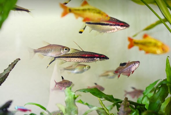 Create an ethical and fish friendly aquarium all for Good community fish