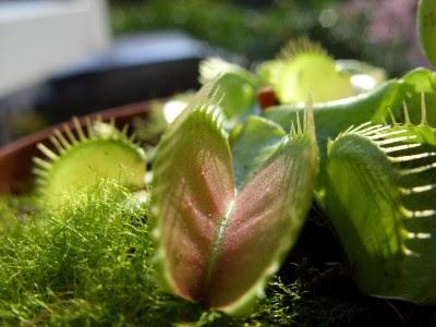 Tumbuhan karnivor Venus Flytrap