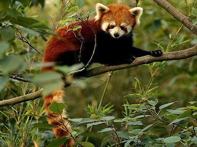 red-panda-pets