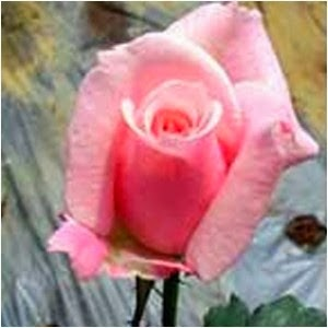 Bunga Mawar Pertiwi