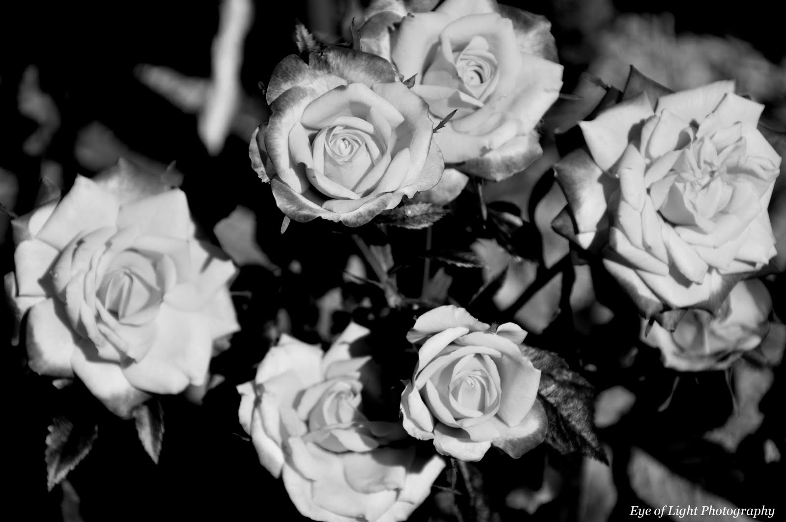 eye of light photography black and white roses