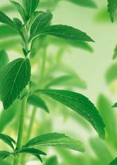 distributor gula stevia