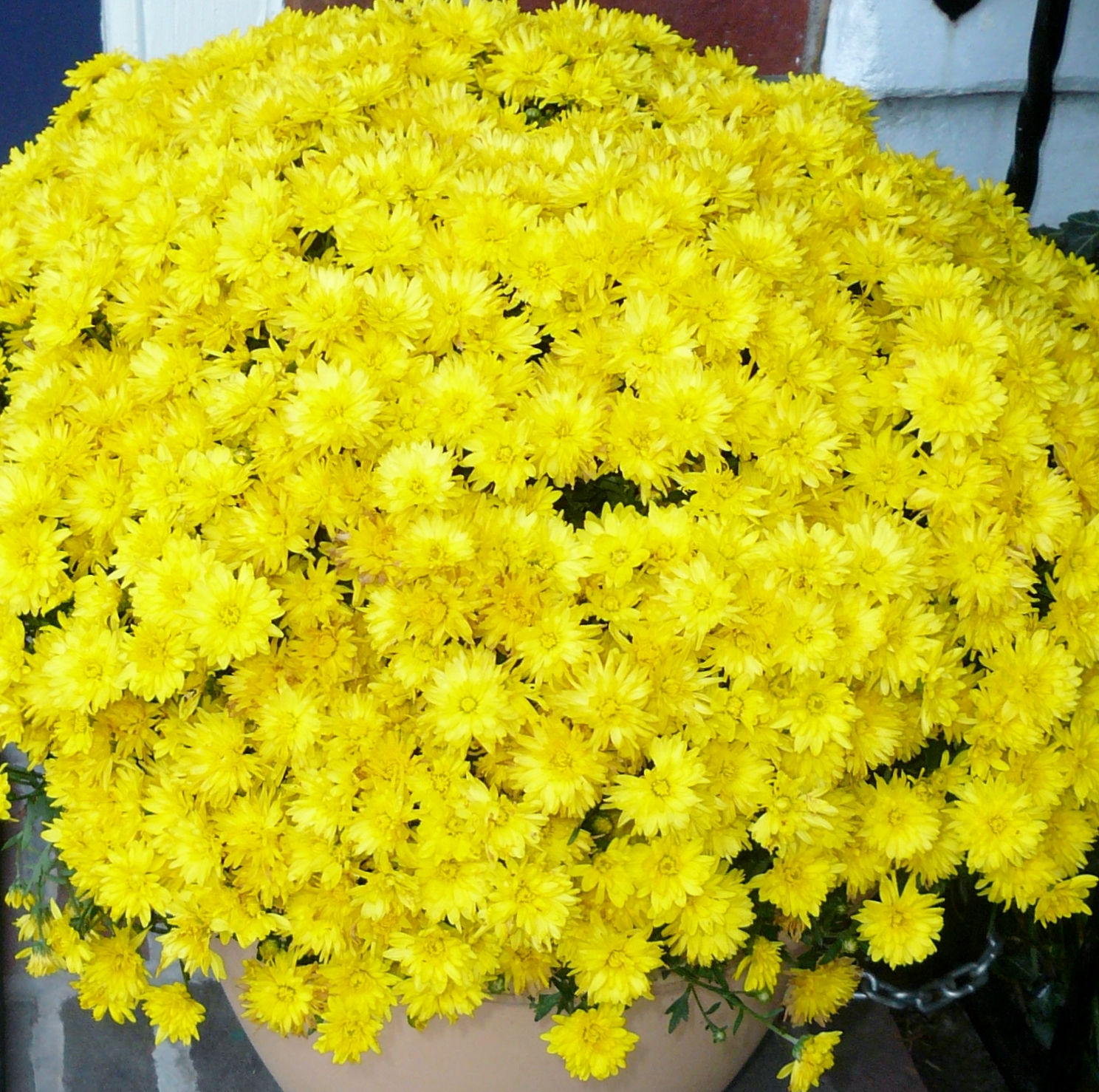 The Creekside Gardener Mums Perennial Or Annual