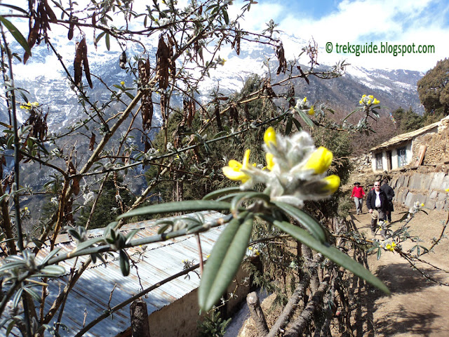 Flowers in Everest region