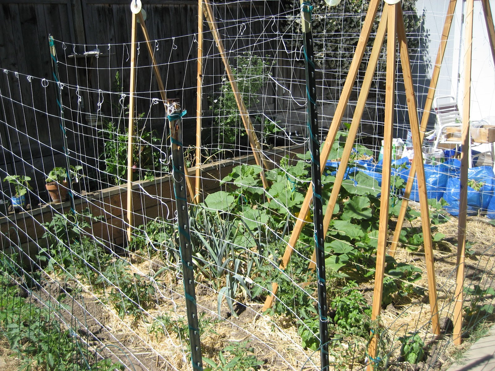 backyard farming growing winter squash vertically