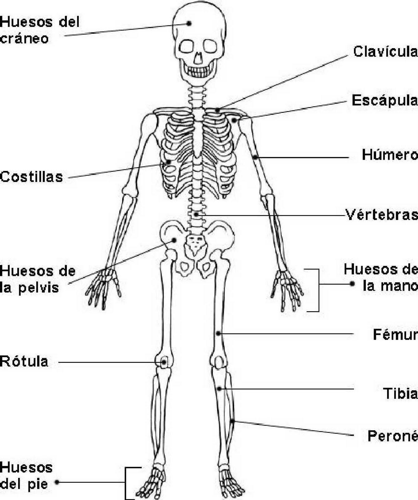 cuerpo humano dibujos de los huesos del craneo y sus partes pelauts