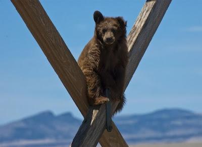 Funny extreme climbing bear, bear climbing, funny bear, funny animal