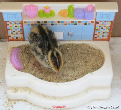 Quail chick taking a dust bath