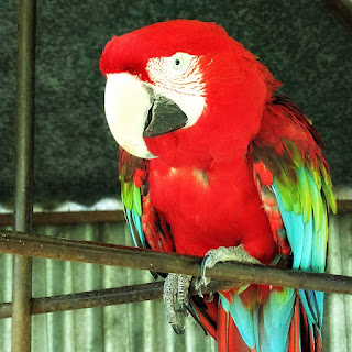 Arara Vermelha, Mini Zoológico de Aves, Santiago (RS)