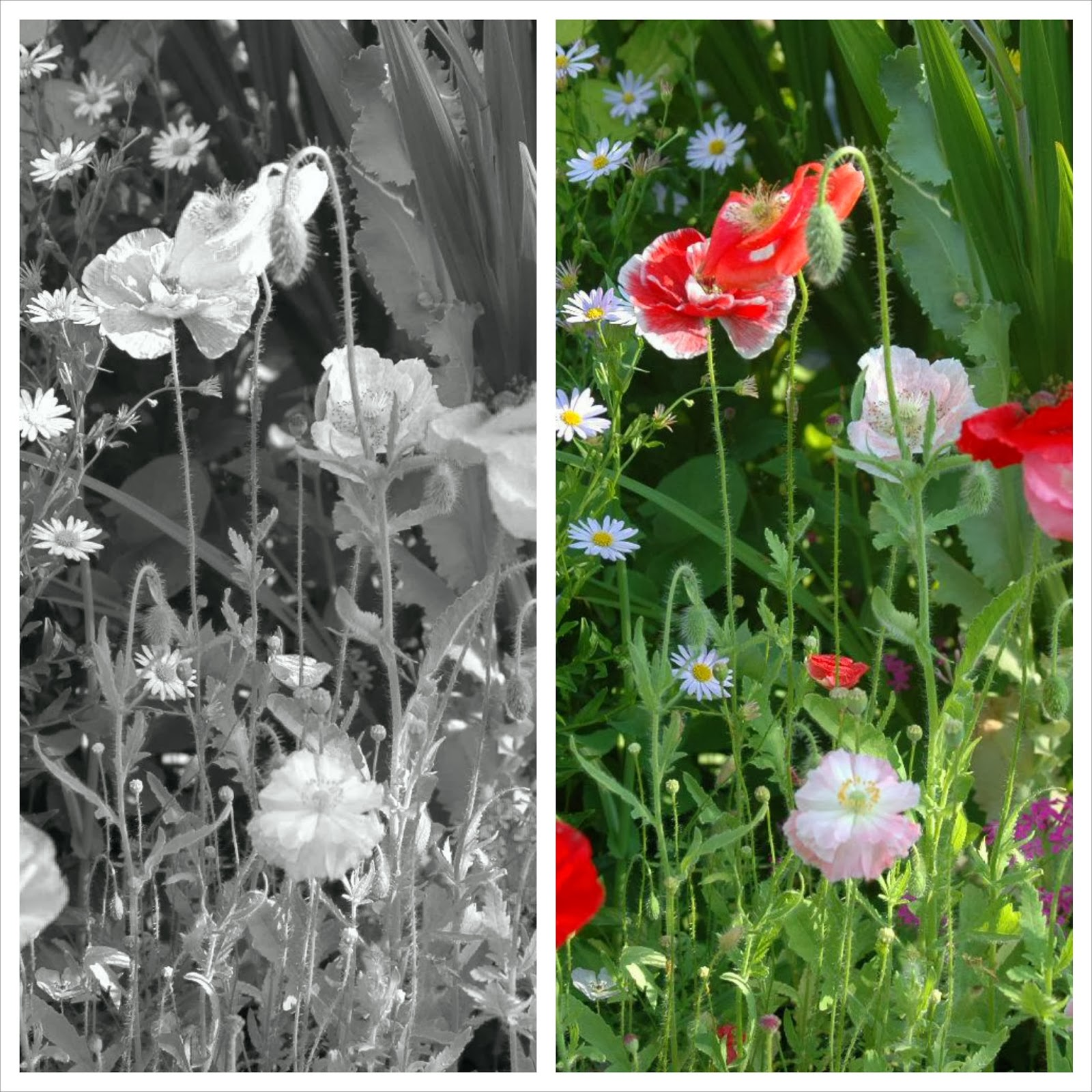 Shirley poppies and Kalimeris incisa at Roche Fleurie Garden