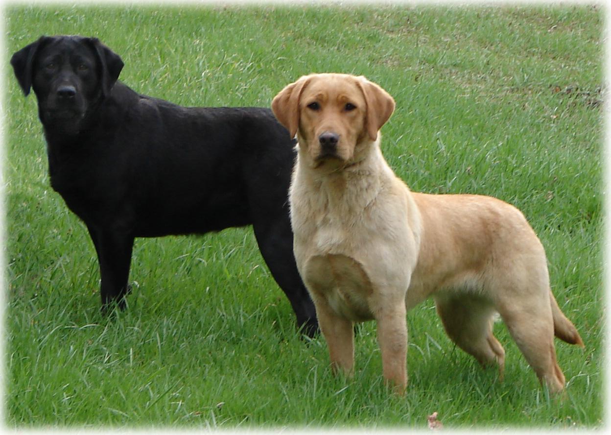 English Lab Show Dogs