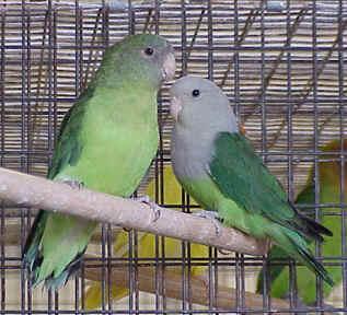 burung lovebird usia dan tempat bertelur burung lovebird