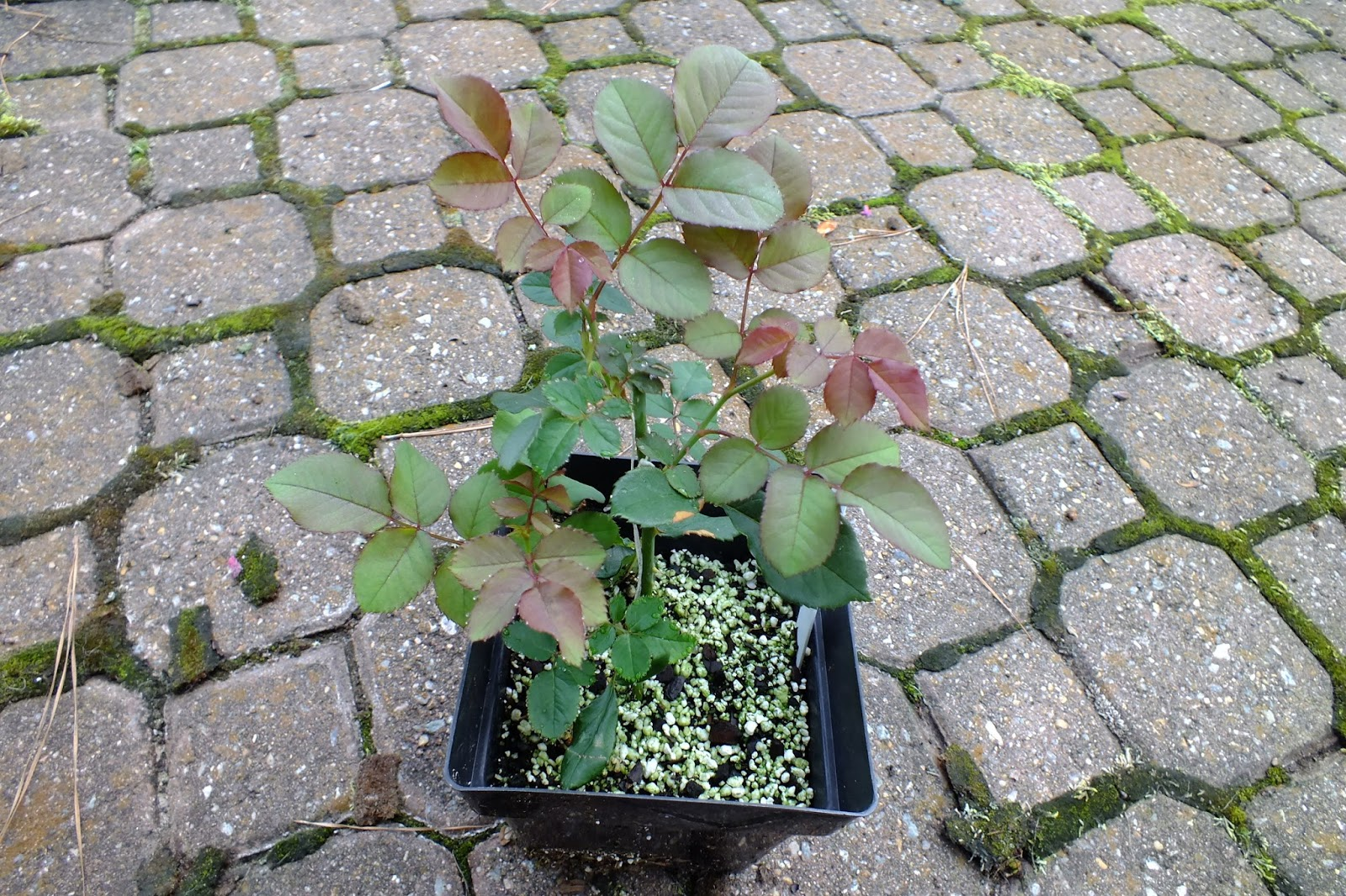 how to grow a new rose bush from a cutting