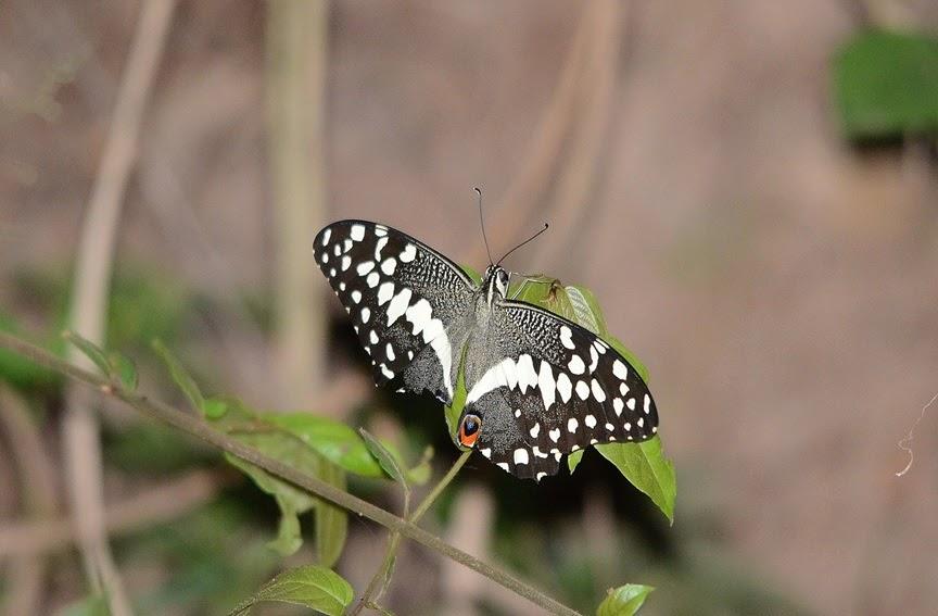 Papilio demodocus 2