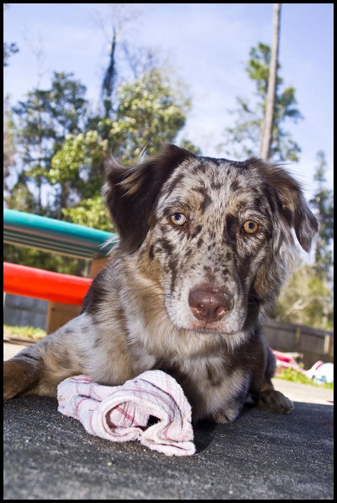 Australian Shepherd Catahoula Mix