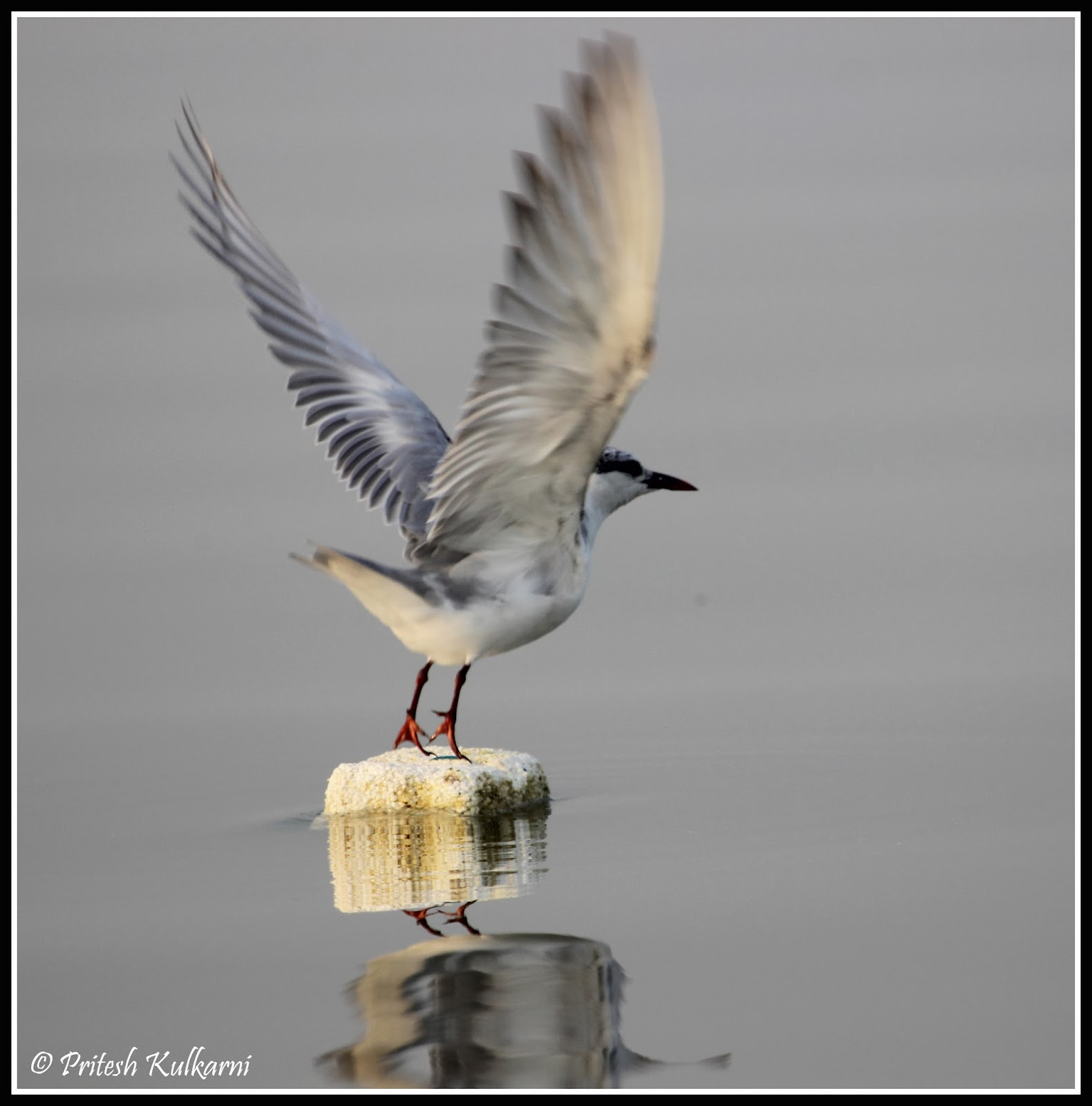 Whiskered Tern in Flight