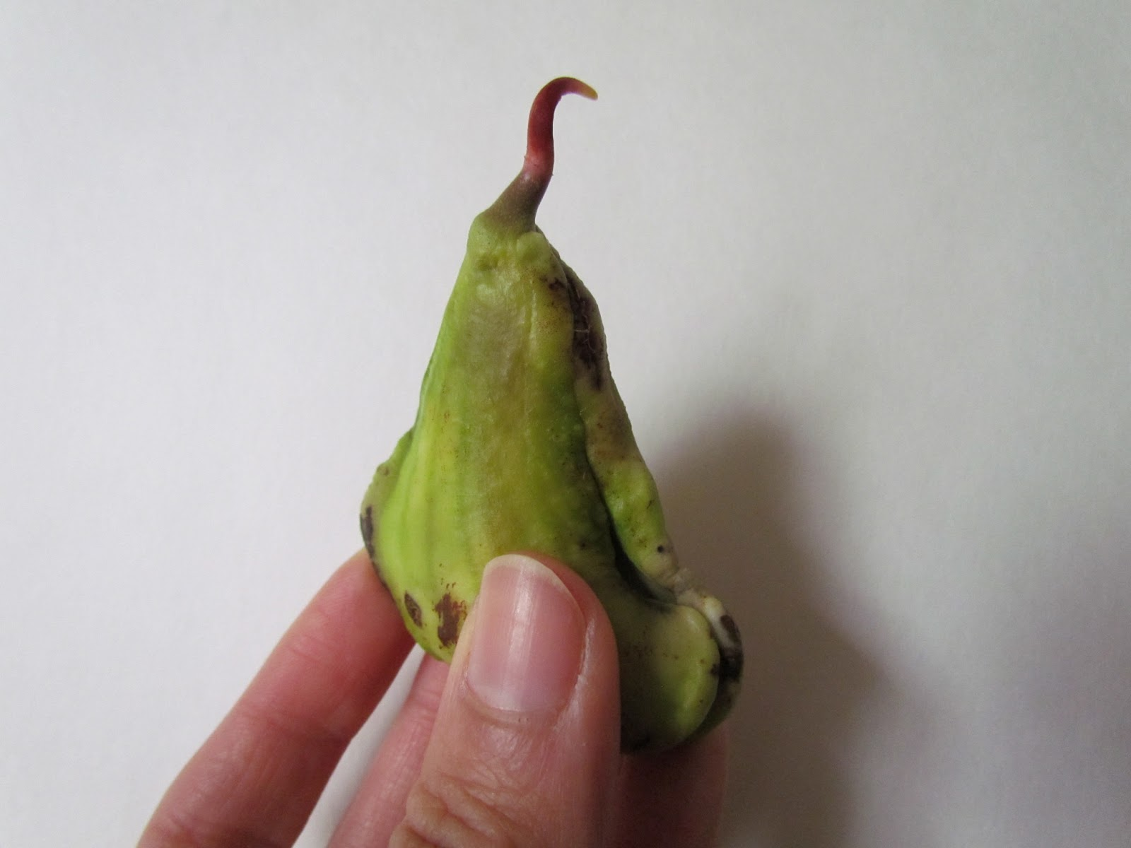 Learn To Grow: How to germinate a mango seed