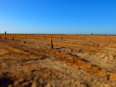 Rows of Date Shoot Starts Awaiting Irrigation