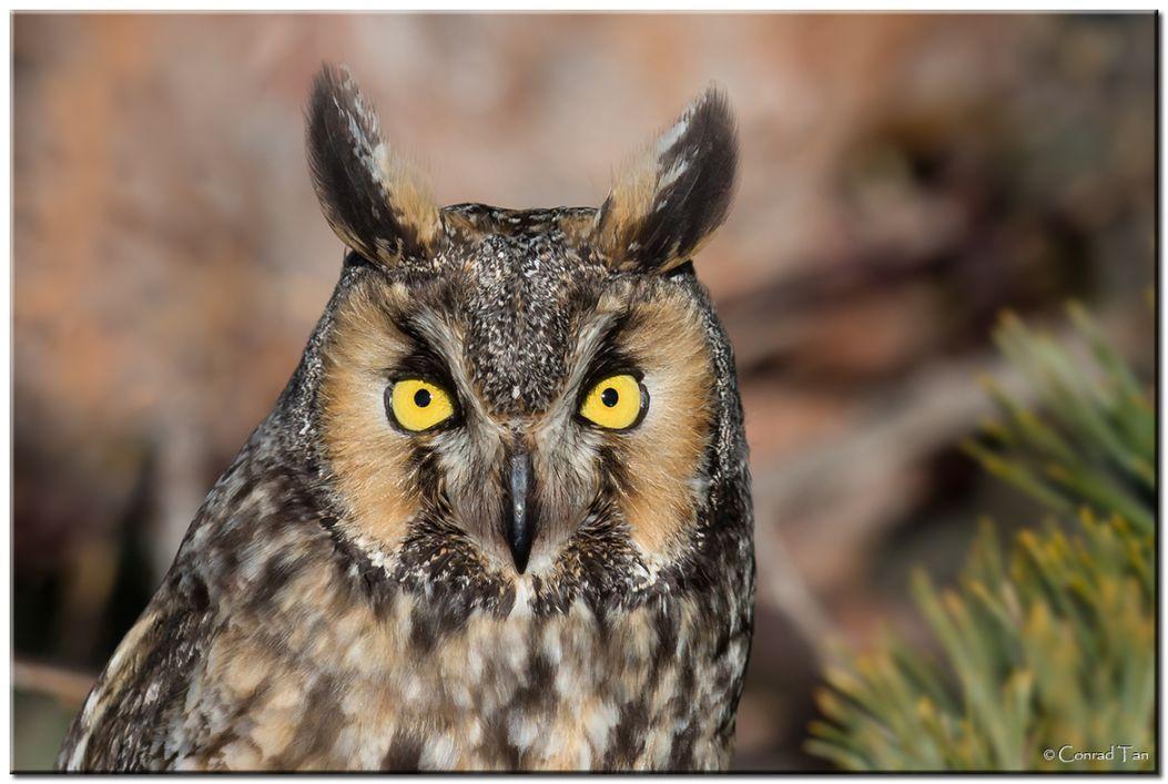 11. Long Eared Owl