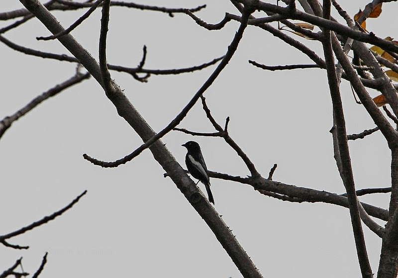 White-shouldered Black Tit