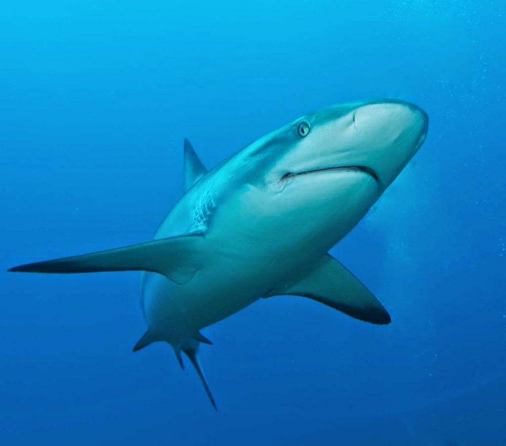 Ciencias de Joseleg: Filogenia del esqueleto apendicular, tiburones ...