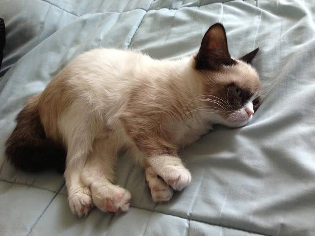 Tard the grumpy cat,