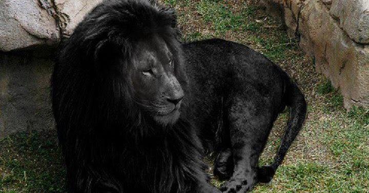 svart løve
