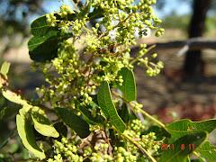 Abelha na flor da baraúna