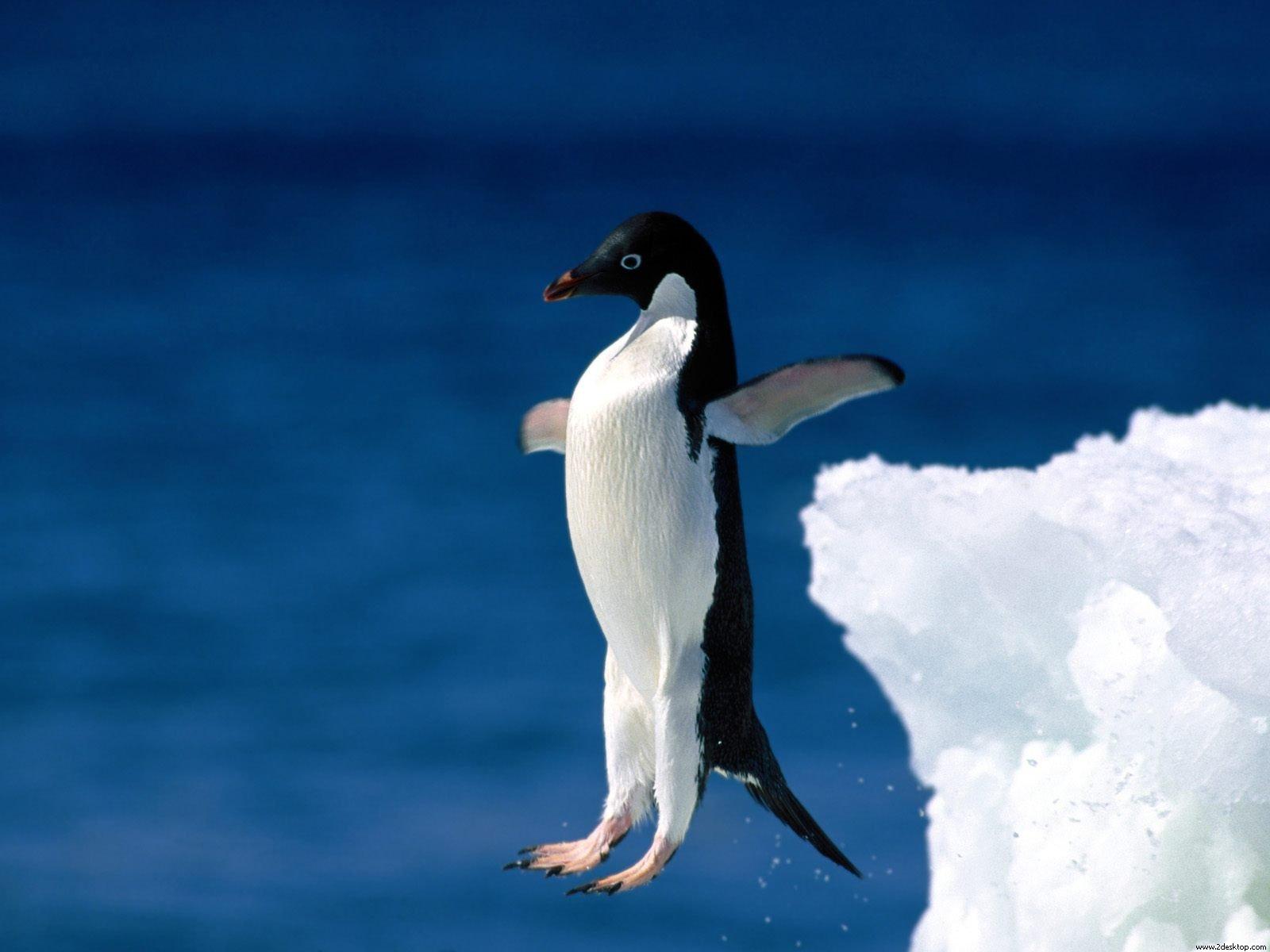 http://4.bp.blogspot.com/-OQk5CRPHAxA/T_5OYa5Uf3I/AAAAAAAAGTU/dWVCb9gZZ8Q/s1600/penguin+wallpaper+hd-4.jpg