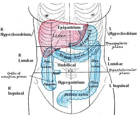 Anatomy Abdominal Regions