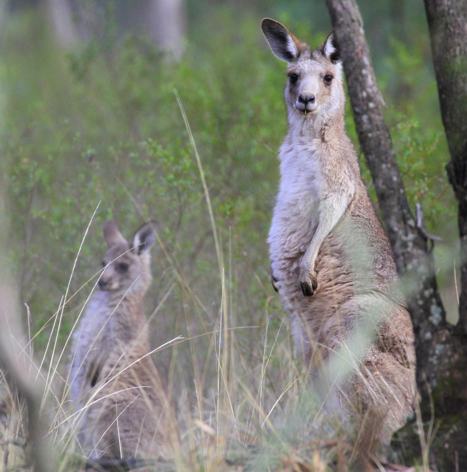 Owl Yap Like Dog Australia