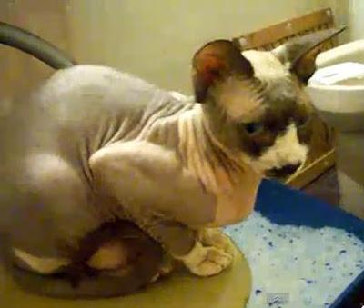 gambar kucing sphinx