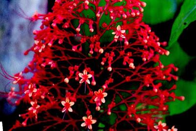 tanaman sirgunggu