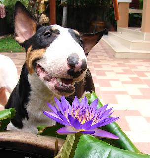 Bull Terrier แพนเค๊ก บูลเทอร์เรีย