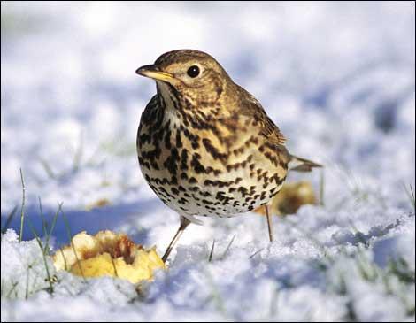 Song thrush bird  Funny Animal  Bird