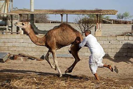 tries to stop a camel