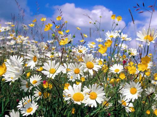 http://4.bp.blogspot.com/-OSu9ikqmNLw/UHH5tXtrKtI/AAAAAAAABKU/FDnimgerhtw/s1600/flores-do-campo-para-jardim-4.jpg