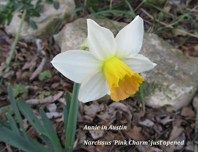 Annieinaustin, pink charm daff just opened