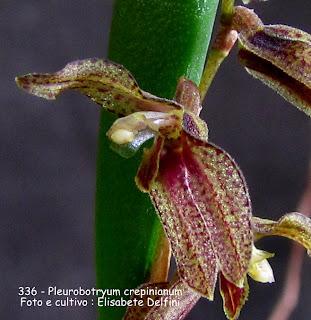 Pleurobotryum crepinianum do blogdabeteorquideas