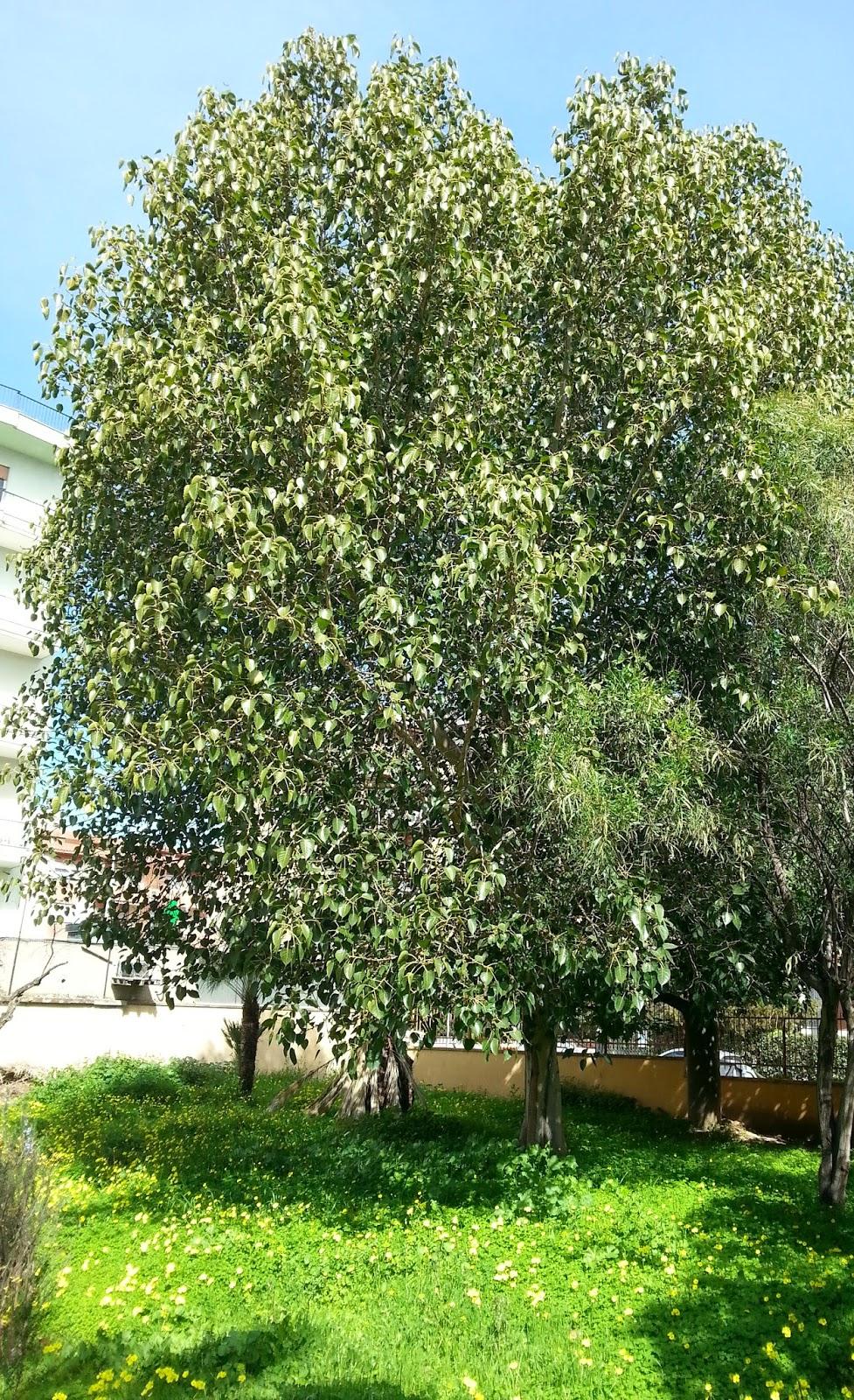 gli alberi da giardino sempre verdi – Mekan.info