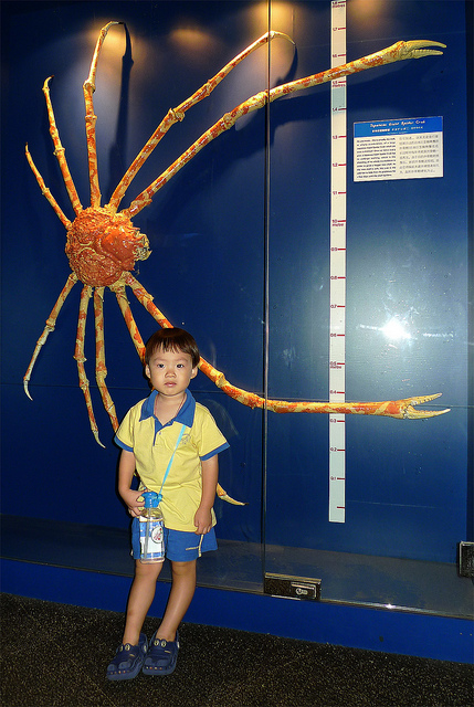 Spider Crab Size Amazing Animals Pictur...