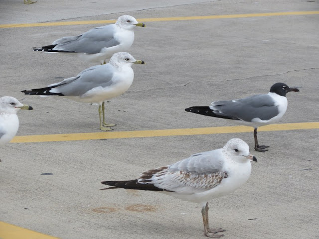 seagulls, laughing gull, ring-billed gull, birds