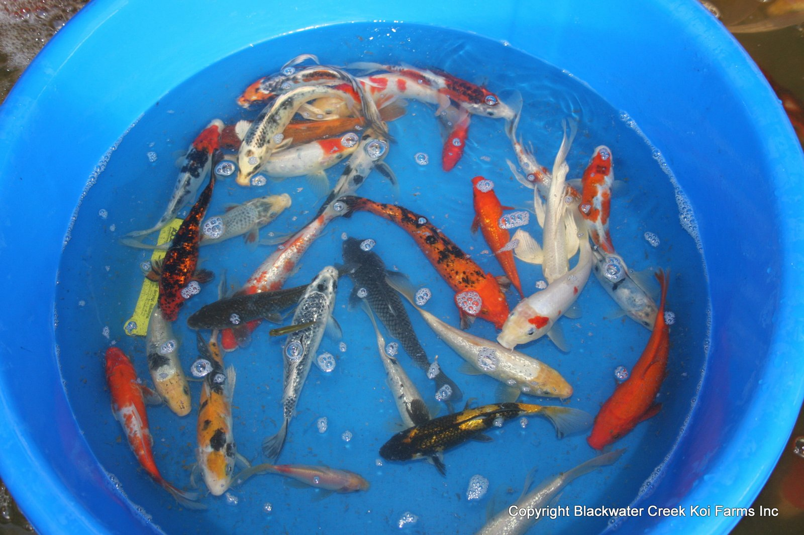 The blackwater blog wholesale koi for sale for Koi for sale cheap