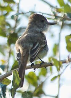 La Sagra's Flycatcher (Myiarchus sagrae)