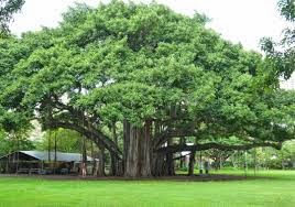 The Healing Herbs of India: Ficus benghalensis