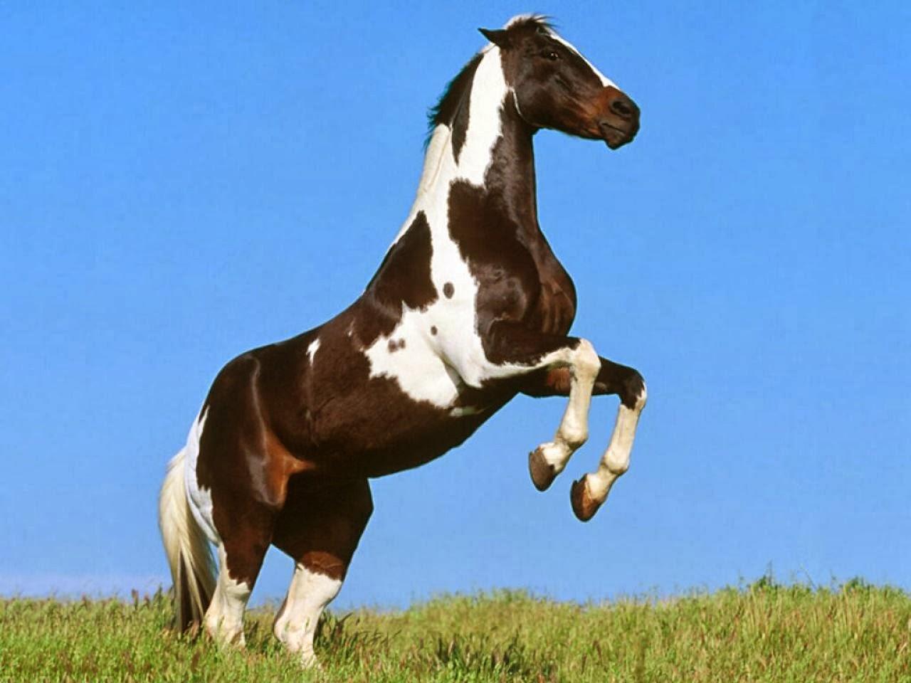 Appaloosa (Horse)