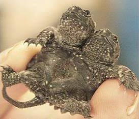 Pekerja sebuah ladang ternakan kura-kura di negeri Arkansas, Amerika Syarikat terkejut apabila mendapati seekor kura-kura yang menetas mempunyai dua kepala. Kura-kura tersebut masih hidup selepas beberapa minggu dilahirkan.  Ianya berada dalam kumpulan 30,000 ekor haiwan yang diternak di ladang kura-kura sebelum dieksport ke China.  Sebelum ini pekerja di situ telah menemui kura-kura yang mempunyai dua kepala, memiliki kaki atau ekor yang banyak tetapi mati sejurus ia menetas.  Kura-kura yang mempunyai ciri-ciri unik seperti ini sangat jarang berlaku.  Kura-kura tersebut mungkin akan dijual oleh pihak pengurusan ladang kepada pengumpul haiwan yang berminat.