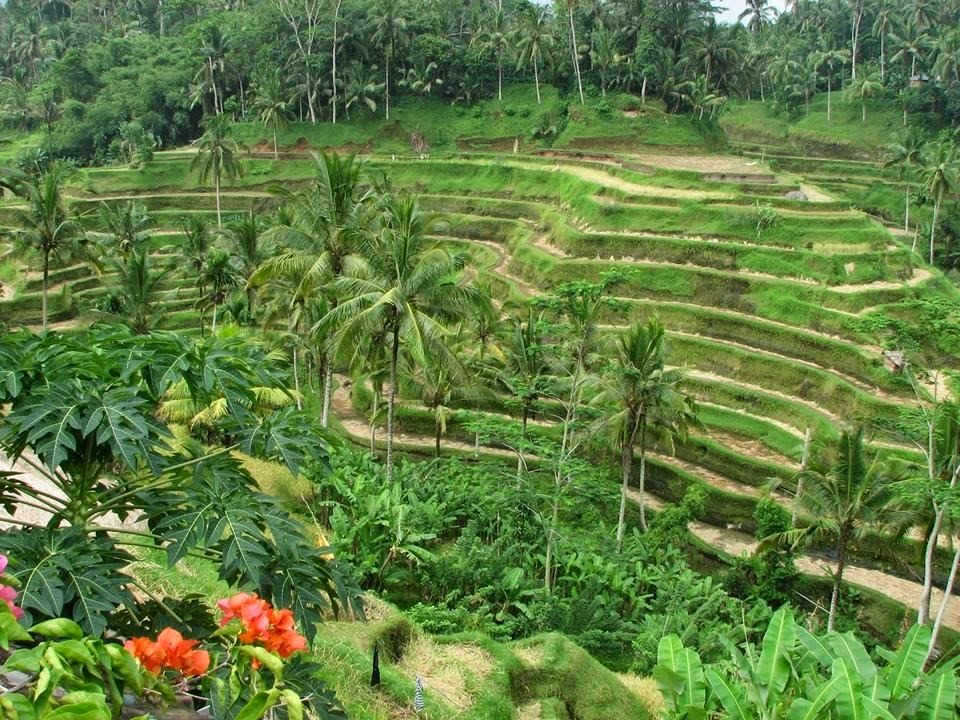Terraced rice paddies in Ubud Bali Indonesia